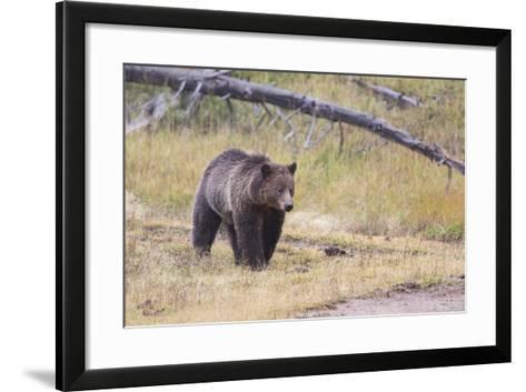 Wyoming, Yellowstone National Park, Grizzly Bear-Elizabeth Boehm-Framed Art Print
