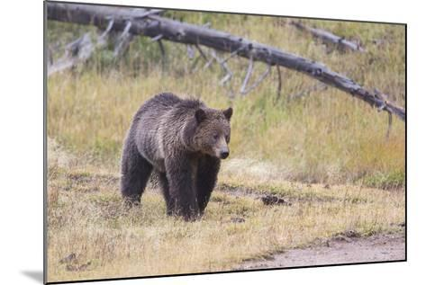 Wyoming, Yellowstone National Park, Grizzly Bear-Elizabeth Boehm-Mounted Photographic Print