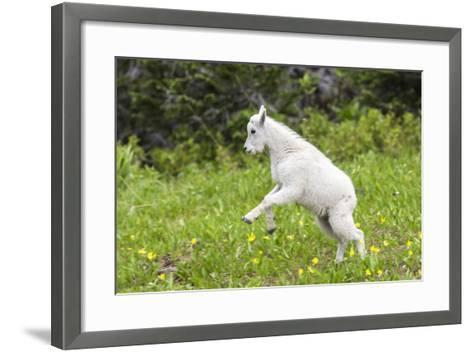 Mountain Goat Kid Kicks Up His Heels in Glacier National Park, Montana, USA-Chuck Haney-Framed Art Print