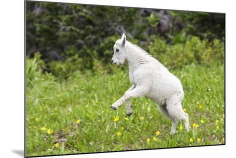Mountain Goat Kid Kicks Up His Heels in Glacier National Park, Montana, USA-Chuck Haney-Mounted Photographic Print
