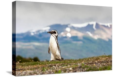 Magellanic Penguin with Mountainous Background-James White-Stretched Canvas Print
