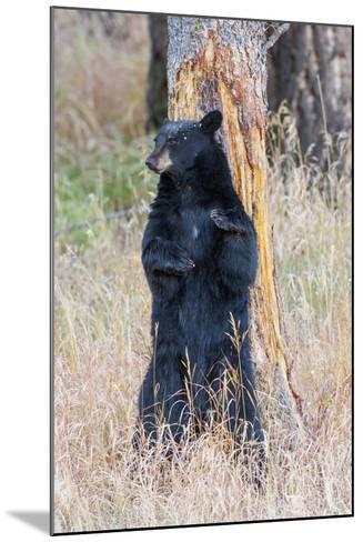 USA, Wyoming, Yellowstone National Park, Black Bear Scratching on Lodge Pole Pine-Elizabeth Boehm-Mounted Photographic Print