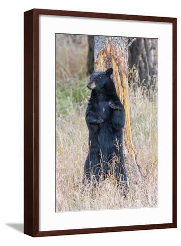 USA, Wyoming, Yellowstone National Park, Black Bear Scratching on Lodge Pole Pine-Elizabeth Boehm-Framed Art Print
