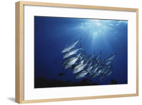 New Britain, New Guinea, School of Jackfish in Undersea-Stuart Westmorland-Framed Art Print