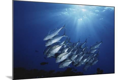 New Britain, New Guinea, School of Jackfish in Undersea-Stuart Westmorland-Mounted Photographic Print