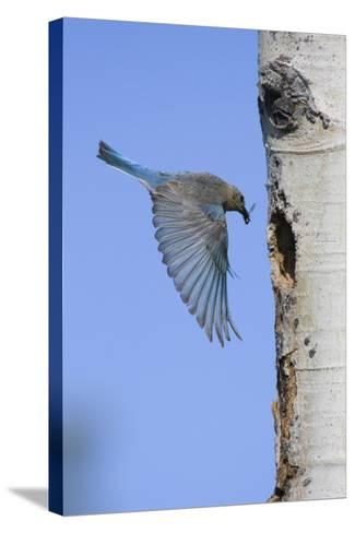 Mountain Bluebird Returning to Nest Cavity with Food-Ken Archer-Stretched Canvas Print