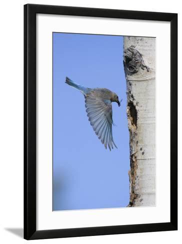 Mountain Bluebird Returning to Nest Cavity with Food-Ken Archer-Framed Art Print
