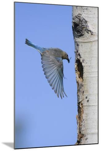 Mountain Bluebird Returning to Nest Cavity with Food-Ken Archer-Mounted Photographic Print