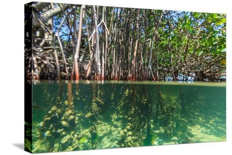 Over and under Shot of Mangrove Roots in Tampa Bay, Florida-James White-Stretched Canvas Print