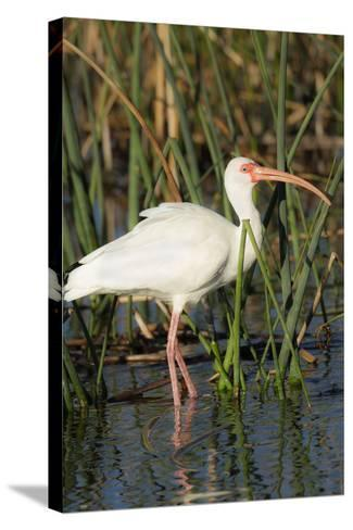 White Ibis in the Soft Stemmed Bulrush, Viera Wetlands, Florida-Maresa Pryor-Stretched Canvas Print