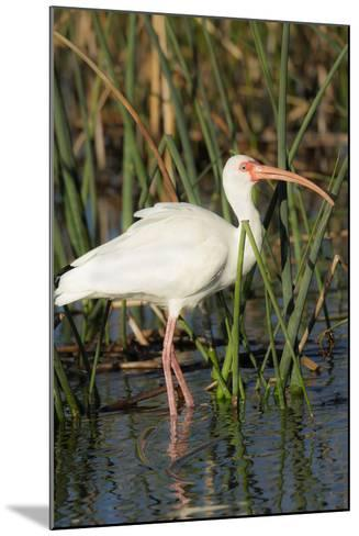 White Ibis in the Soft Stemmed Bulrush, Viera Wetlands, Florida-Maresa Pryor-Mounted Photographic Print