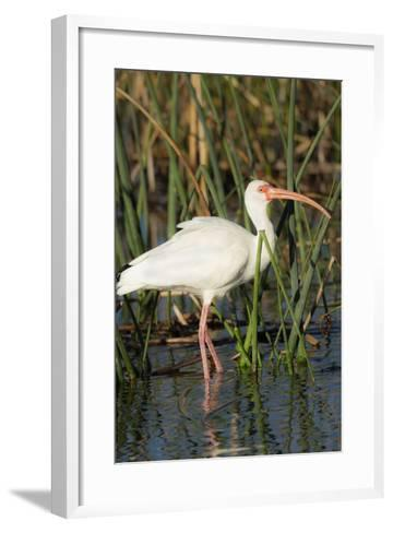 White Ibis in the Soft Stemmed Bulrush, Viera Wetlands, Florida-Maresa Pryor-Framed Art Print