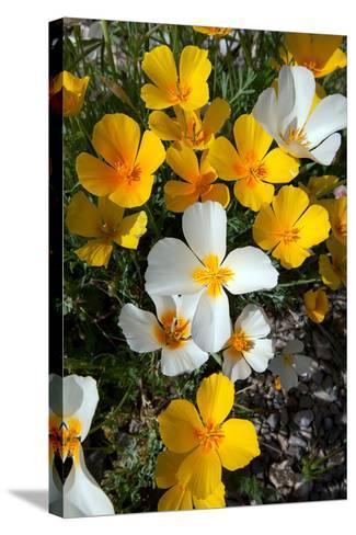 White Poppies Bloom in the Sonoran Desert, Tucson, Arizona-Susan Degginger-Stretched Canvas Print