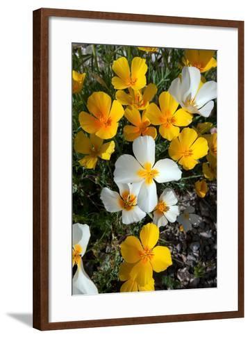 White Poppies Bloom in the Sonoran Desert, Tucson, Arizona-Susan Degginger-Framed Art Print