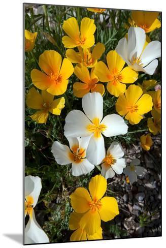 White Poppies Bloom in the Sonoran Desert, Tucson, Arizona-Susan Degginger-Mounted Photographic Print
