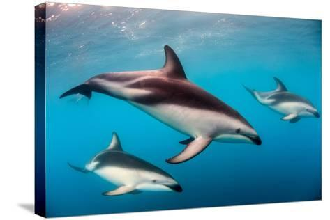 Pod of Dusky Dolphins Off of Kaikoura, New Zealand-James White-Stretched Canvas Print