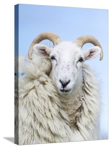 Portrait of a Cheviot Sheep on the Isle of Harris. Schotland-Martin Zwick-Stretched Canvas Print