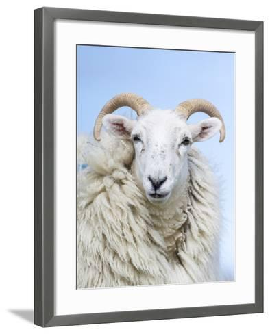 Portrait of a Cheviot Sheep on the Isle of Harris. Schotland-Martin Zwick-Framed Art Print