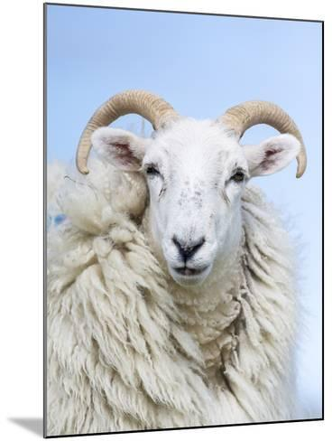 Portrait of a Cheviot Sheep on the Isle of Harris. Schotland-Martin Zwick-Mounted Photographic Print
