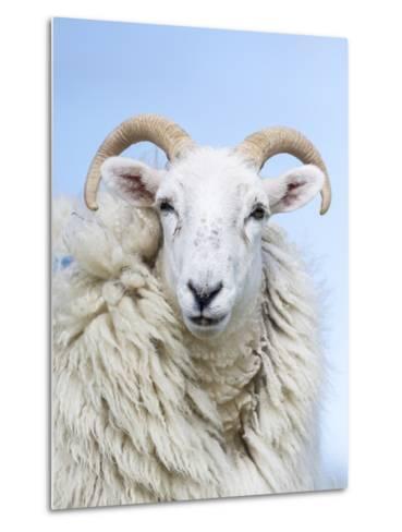 Portrait of a Cheviot Sheep on the Isle of Harris. Schotland-Martin Zwick-Metal Print