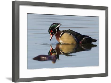 Wood Duck Drake-Ken Archer-Framed Art Print