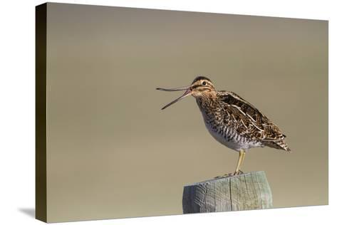 Wyoming, Wilsons Snipe Yawning and Showing Flexible Upper Mandible-Elizabeth Boehm-Stretched Canvas Print