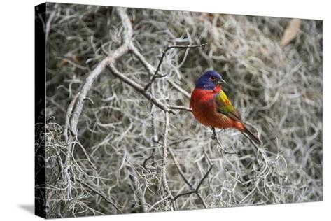 Painted Bunting, Little St Simons Island, Barrier Islands, Georgia-Pete Oxford-Stretched Canvas Print