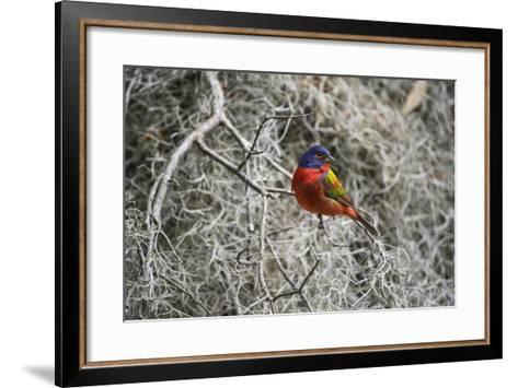 Painted Bunting, Little St Simons Island, Barrier Islands, Georgia-Pete Oxford-Framed Art Print