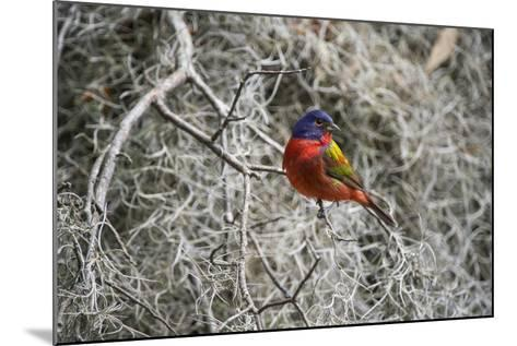 Painted Bunting, Little St Simons Island, Barrier Islands, Georgia-Pete Oxford-Mounted Photographic Print