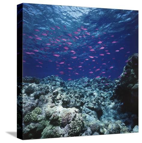 Australia, Yellowstriped Anthias Schooling in Great Barrier Reef-Stuart Westmorland-Stretched Canvas Print