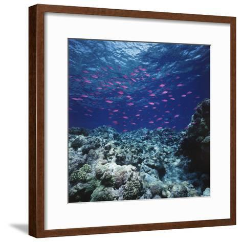 Australia, Yellowstriped Anthias Schooling in Great Barrier Reef-Stuart Westmorland-Framed Art Print