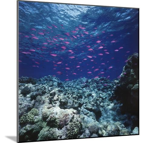 Australia, Yellowstriped Anthias Schooling in Great Barrier Reef-Stuart Westmorland-Mounted Photographic Print