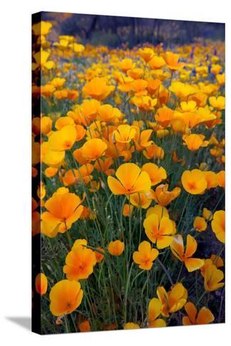 Poppies, Bloom in the Sonoran Desert, Tucson, Arizona-Susan Degginger-Stretched Canvas Print