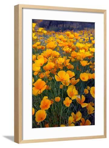Poppies, Bloom in the Sonoran Desert, Tucson, Arizona-Susan Degginger-Framed Art Print