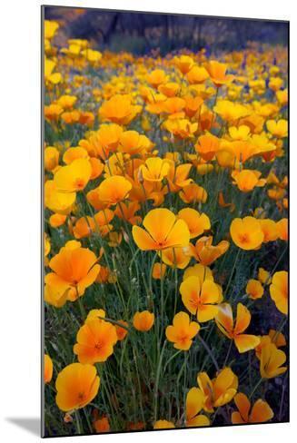 Poppies, Bloom in the Sonoran Desert, Tucson, Arizona-Susan Degginger-Mounted Photographic Print