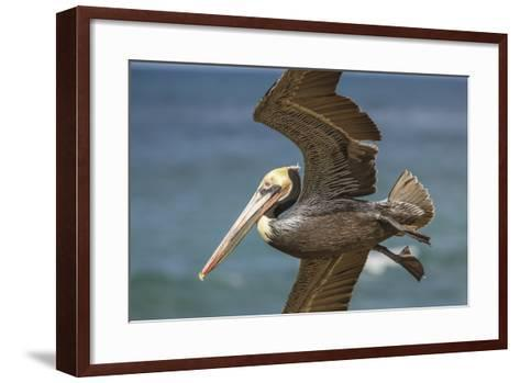La Jolla Cove Brown Soaring Above the Pacific-Michael Qualls-Framed Art Print