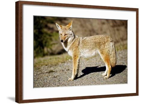 A Coyote, Searches for Prey in the Cariboo Mts of B.C., Canada-Richard Wright-Framed Art Print