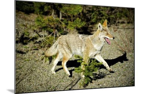 A Coyote, Searches for Prey in the Cariboo Mts of B.C., Canada-Richard Wright-Mounted Photographic Print