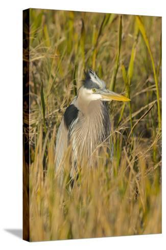 Great Blue Heron Finding Shelter, Viera Wetlands, Florida-Maresa Pryor-Stretched Canvas Print