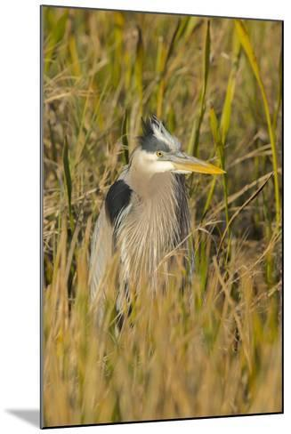 Great Blue Heron Finding Shelter, Viera Wetlands, Florida-Maresa Pryor-Mounted Photographic Print