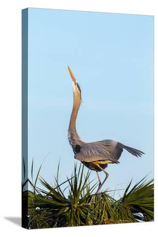 Great Blue Heron on Nest Displaying, Viera Wetlands, Florida-Maresa Pryor-Stretched Canvas Print
