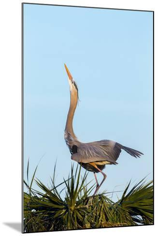 Great Blue Heron on Nest Displaying, Viera Wetlands, Florida-Maresa Pryor-Mounted Photographic Print