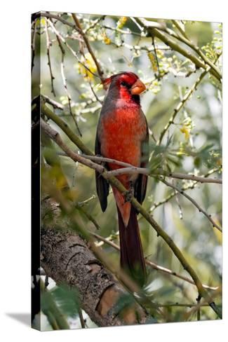 Pyrrhuloxia Desert Cardinal, Cardinalis Sinuatus, Arizona-Susan Degginger-Stretched Canvas Print