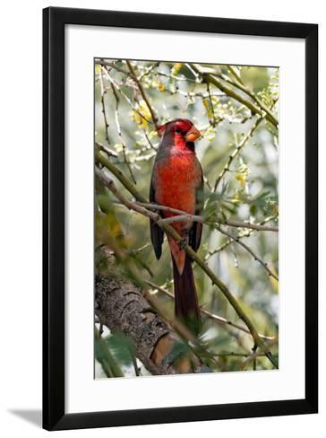 Pyrrhuloxia Desert Cardinal, Cardinalis Sinuatus, Arizona-Susan Degginger-Framed Art Print