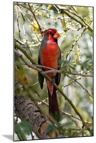 Pyrrhuloxia Desert Cardinal, Cardinalis Sinuatus, Arizona-Susan Degginger-Mounted Photographic Print