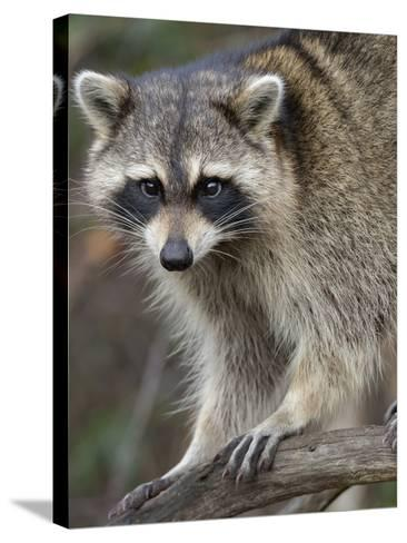 Raccoon, Procyon Lotor, Florida, USA-Maresa Pryor-Stretched Canvas Print