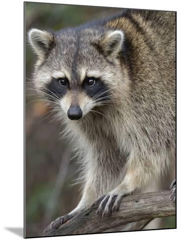 Raccoon, Procyon Lotor, Florida, USA-Maresa Pryor-Mounted Photographic Print