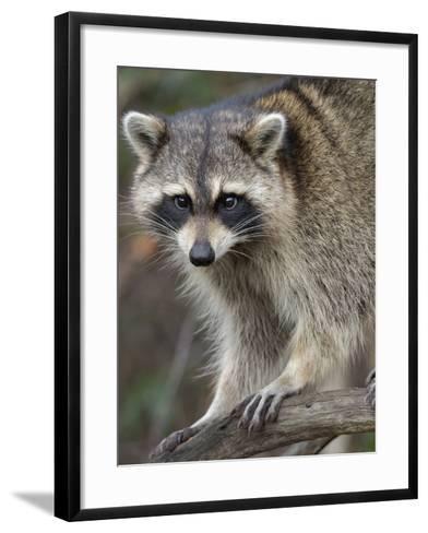 Raccoon, Procyon Lotor, Florida, USA-Maresa Pryor-Framed Art Print