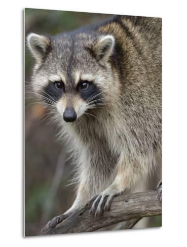 Raccoon, Procyon Lotor, Florida, USA-Maresa Pryor-Metal Print
