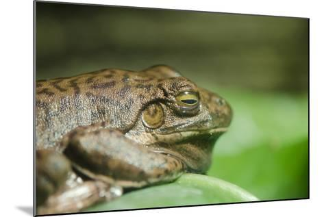Australia, Sydney. Sydney Sea Life Aquarium. White Lipped Tree Frog-Cindy Miller Hopkins-Mounted Photographic Print